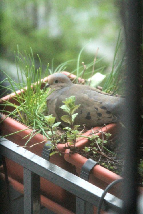 Chive bird3