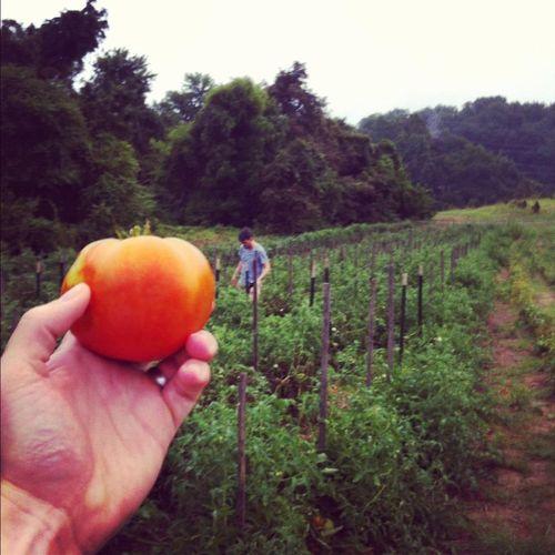 Tomatoes 2012 2