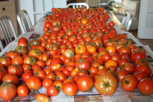 Tomatoes 2012 3