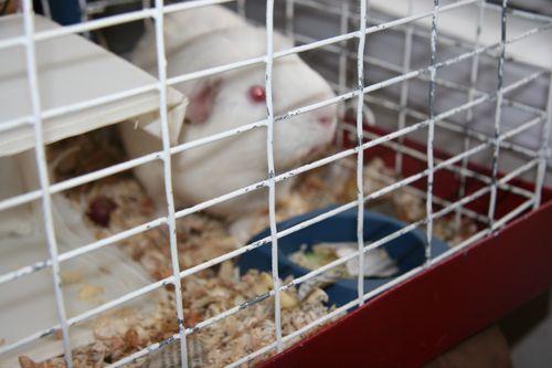 Orecchiette guinea pig