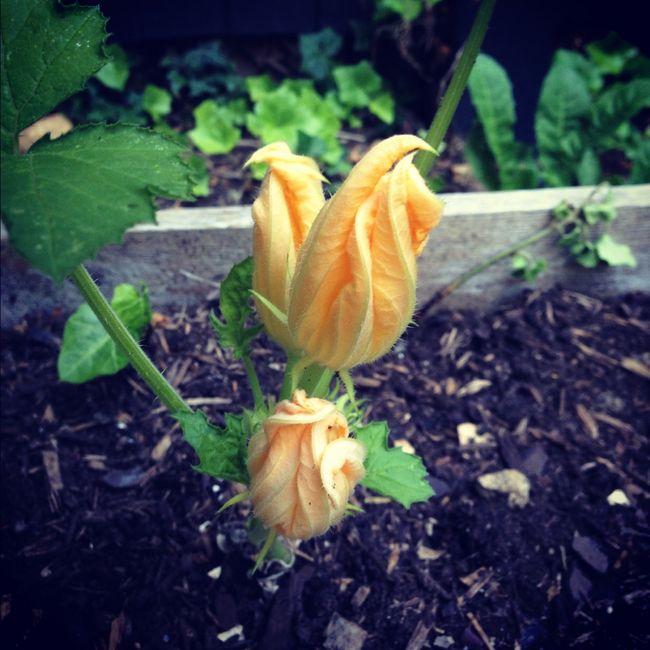 Squash blossom in the garden