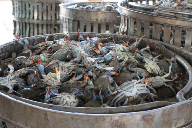 bushels of crabs at a crab processing facility
