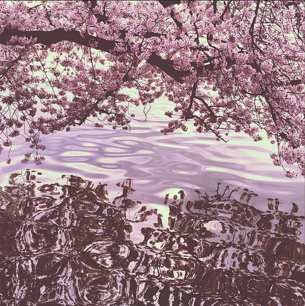 DC cherry blossoms 1