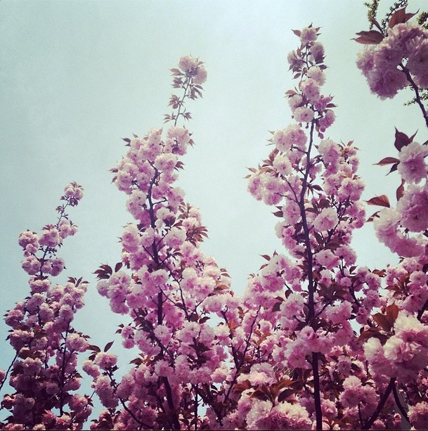 DC cherry blossoms 2
