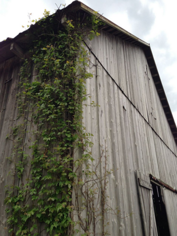 Clagett_barn_with_ivy