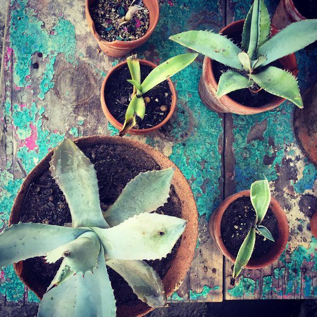 Misc succulents